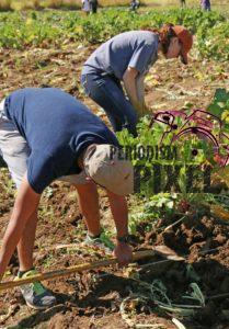 cosecha-rabanos-13