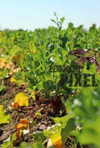 cosecha-rabanos-24