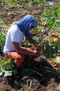 cosecha-rabanos-3